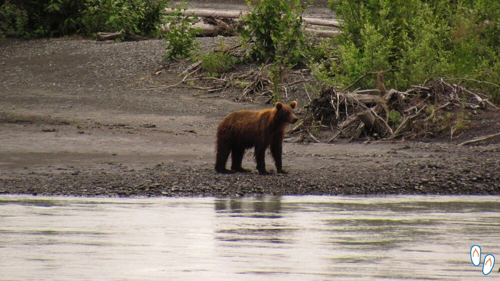 black bear, seward highway