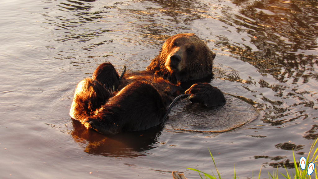 """Urso pardo (""""grizzly bear"""") brincando no laguinho no topo da Grouse Mountain, em Vancouver."""