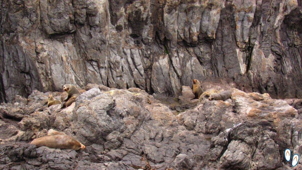Lobos Marinhos em Akaroa, Banks Peninsula, NZ