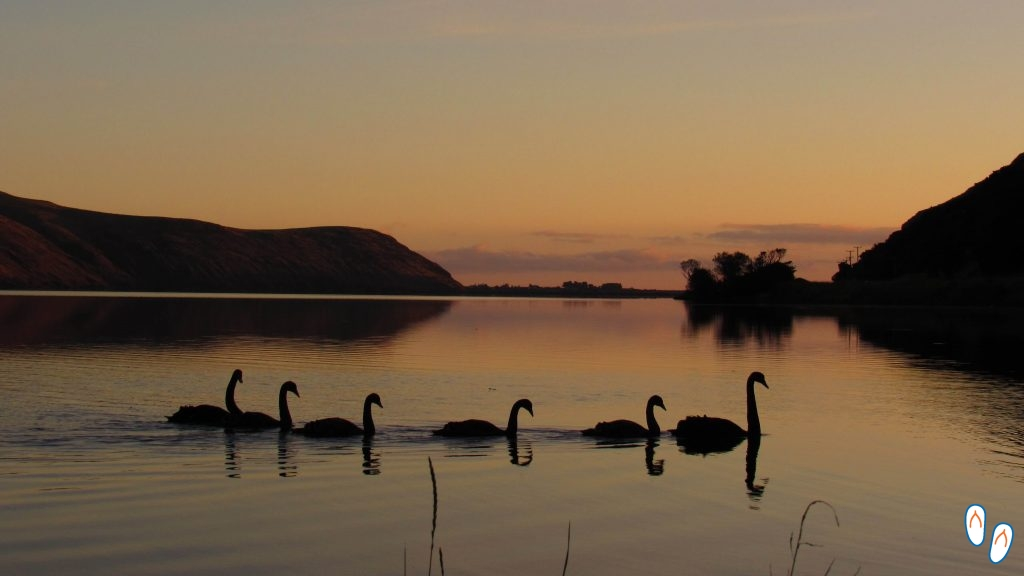 Cisnes Negros em Little River, Banks Peninsula, NZ