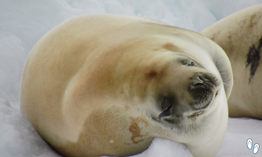 Furry crabeater seal