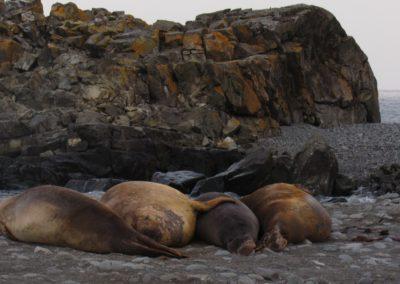 antartida-elefantes-marinhos-turret-point