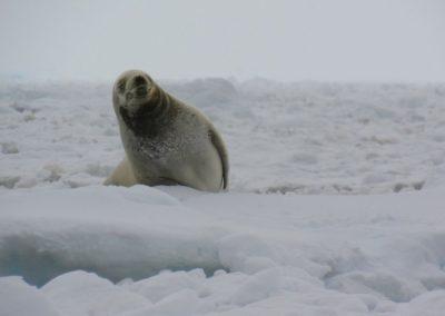 antartida-foca-caranguejeira-peterman-island