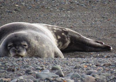 antartida-weddel-seal-gws