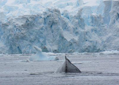baleia-jubarte-antartida-paradise-harbour