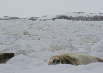 focas-na-antartida-peterman-island