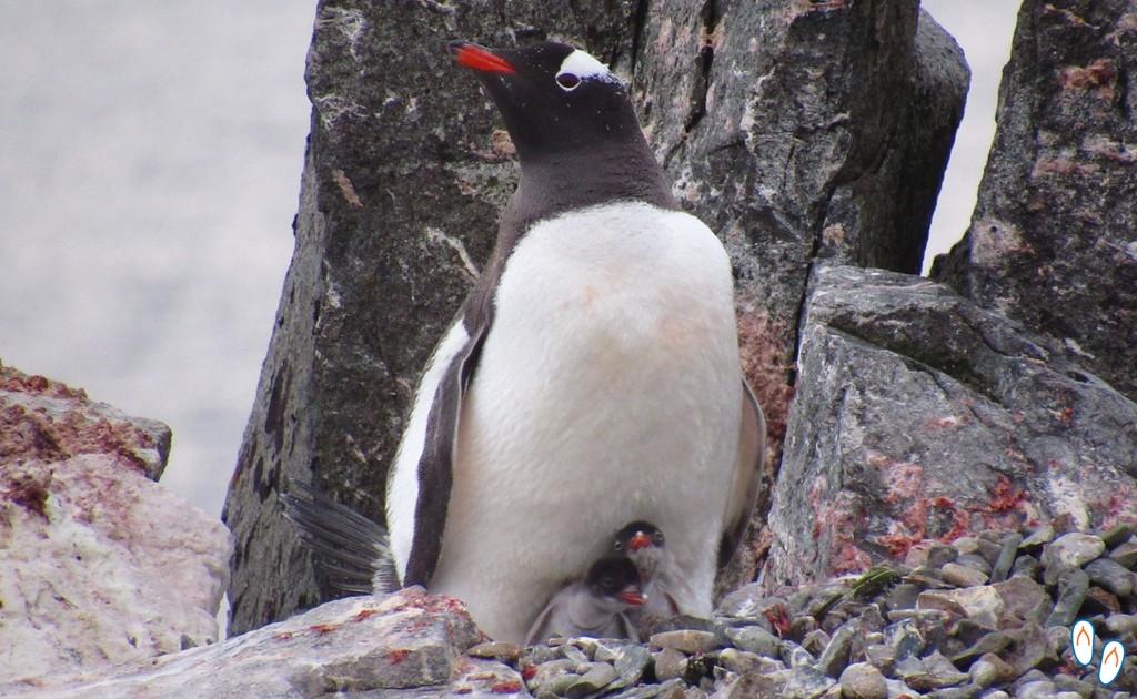 Pinguim com filhotes na Antártida