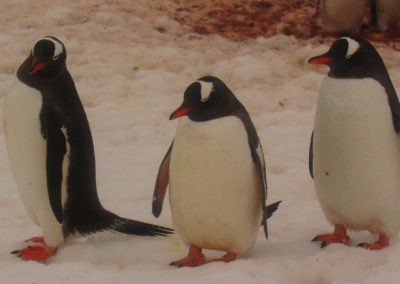 pinguins-na-antartida-danco-island (1)