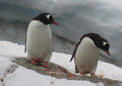 vida-selvagem-na-antartida-pleneau-bay