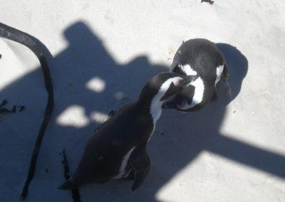 pinguins-africanos