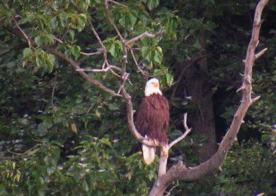 águia-de-cabeça-branca