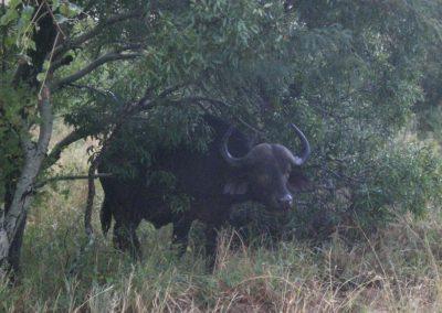bufalo-big-5-kruger