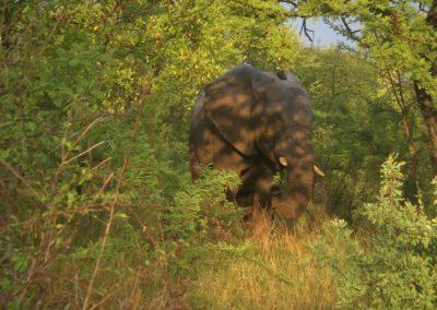 elefante-africa
