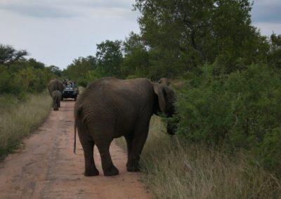elefante-safari