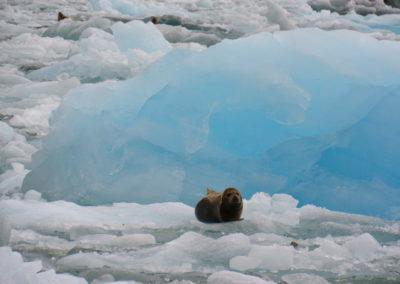 foca-fjords-alaska