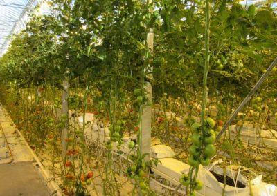 fridheimar-tomato-iceland