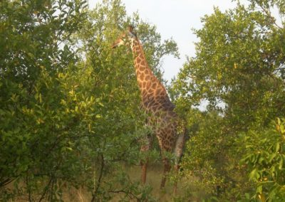 girafa-africa
