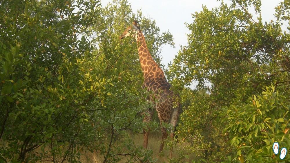 Girafa - Safári na África do Sul