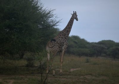 girafa-safari
