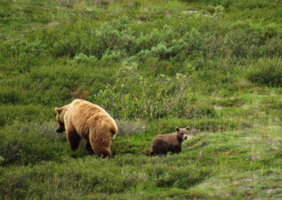 grizzly-bear-denali-alaska
