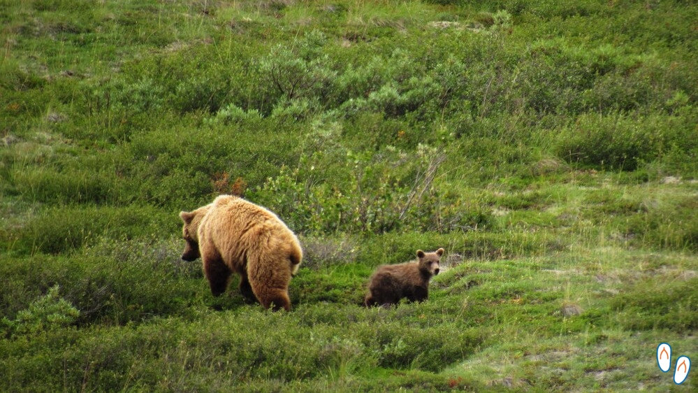 Grizzly bear com filhote no Denali National Park