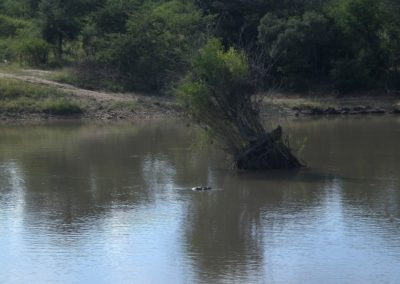 hippo-safari