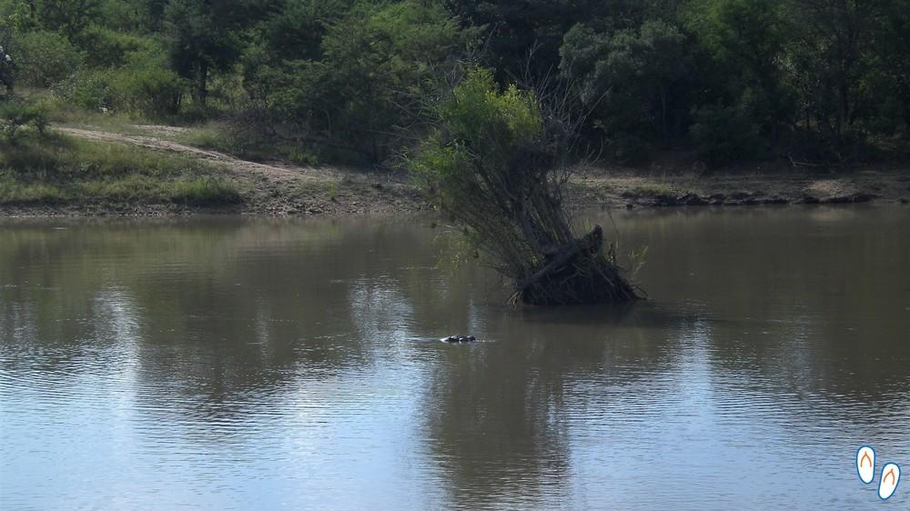 Hipopótamo - Safári na África do Sul