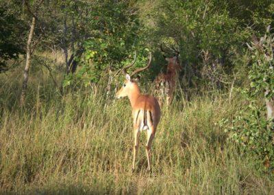 impala-africa