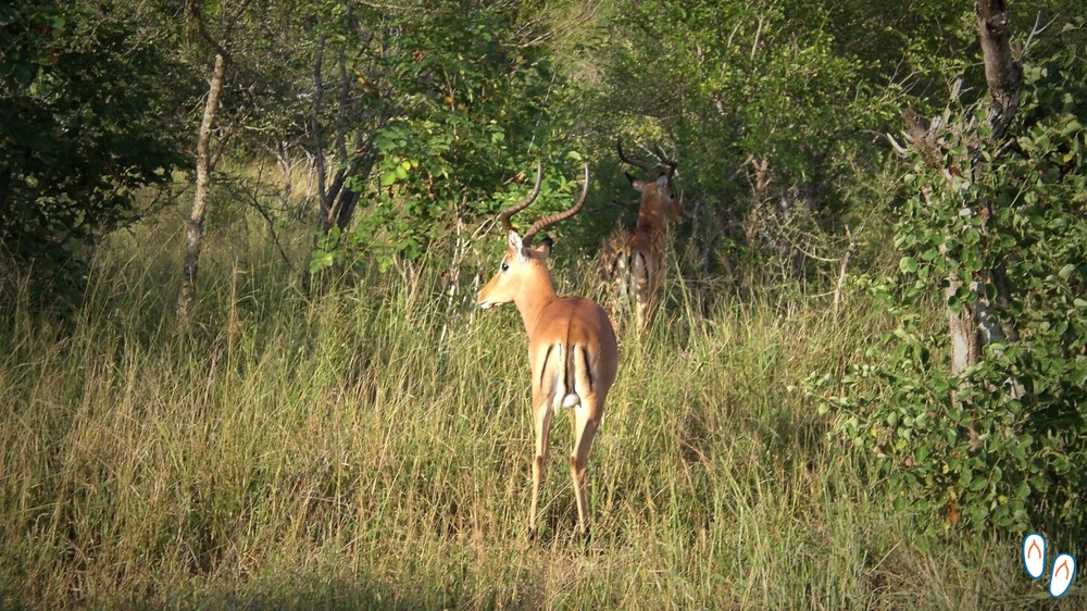 Impala, Safári na África do Sul