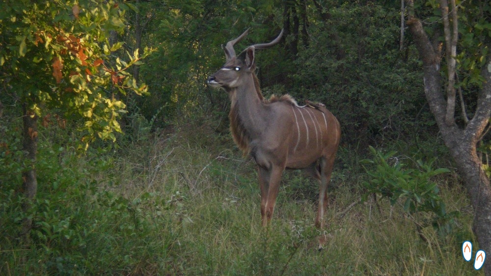 Kudu macho na África do Sul