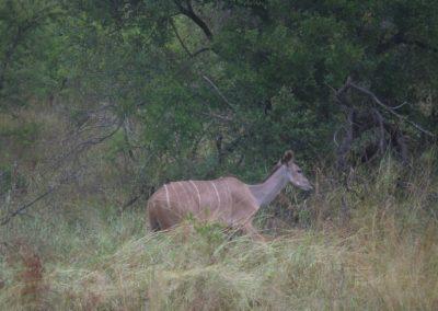 kudu-femea-africa