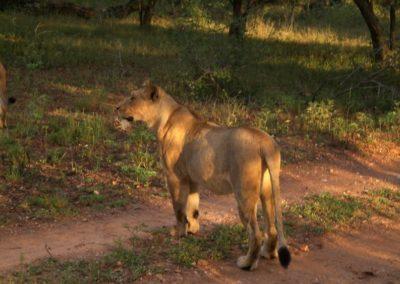leoas-caçando-africa-do-sul