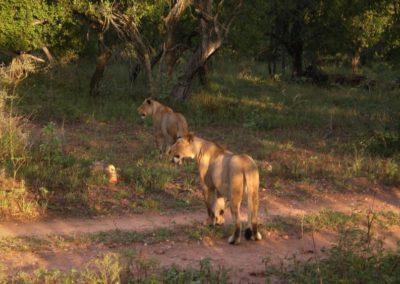 leoas-caçando-na-africa