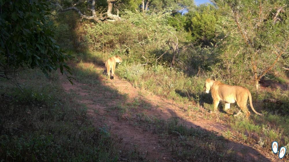 Leoas caçando - Safári na África do Sul