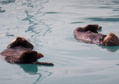 lontras-seward-alaska