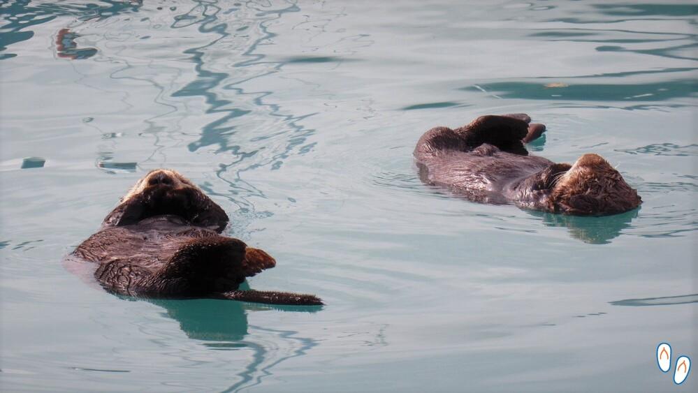 Lontras descansando em Seward, Alasca