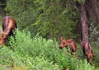 moose-alces-denali-alaska