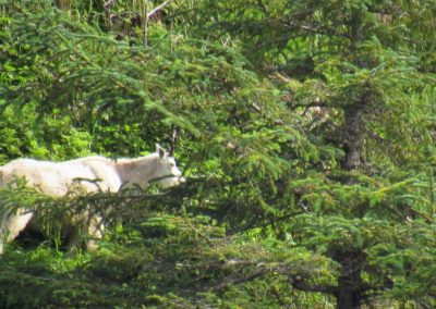 mountain-goat-alaska