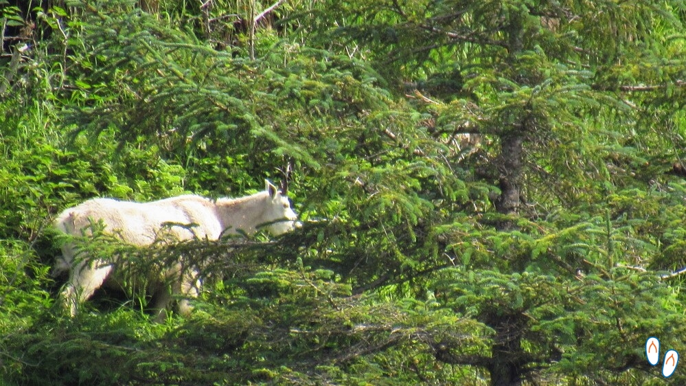 Mountain Goat, Wildlife Cruise, Seward, Alasca