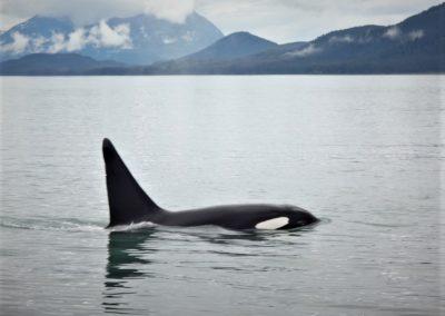 orca-baleia-juneau-alaska