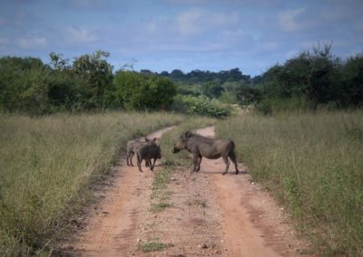 warthog-africa