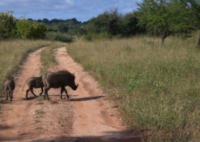 warthog-pumba-safari-africa