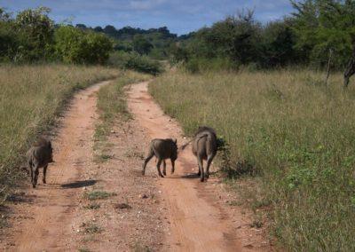 warthog-safari-africa