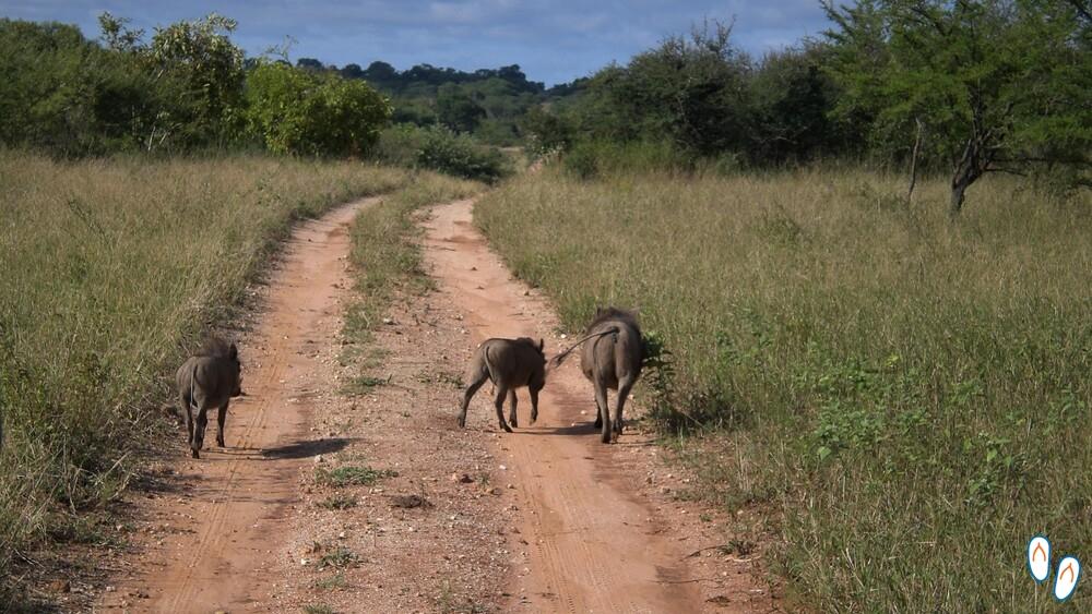 Warthog (Javali africano)