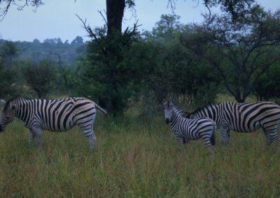 zebra-safari-africa