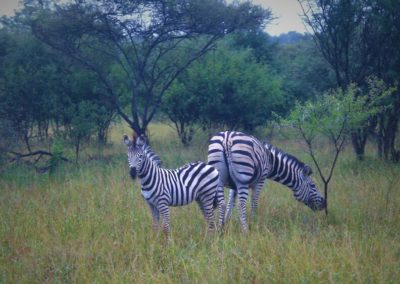 zebras-africa-do-sul