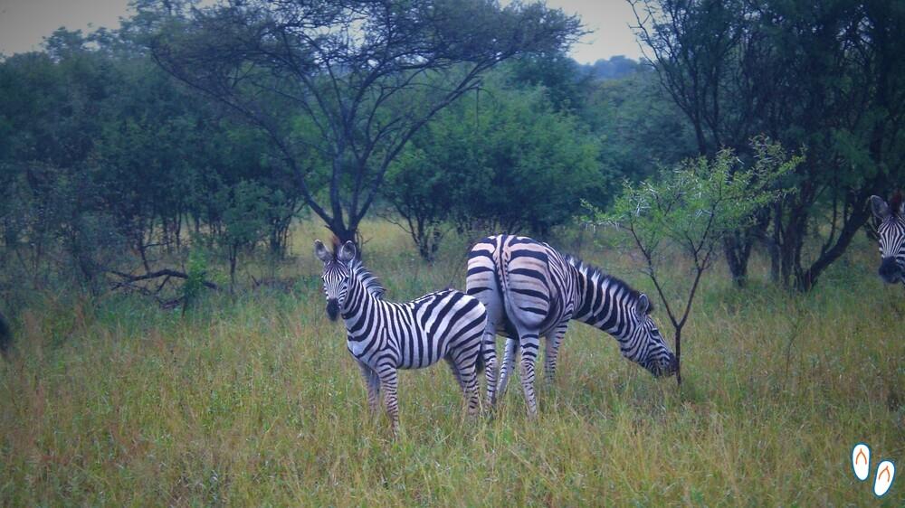 Zebras na Savana Africana - Safári na África do Sul