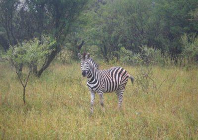 zebras-safari-africa